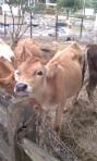 Goodale Farms Calf