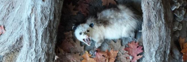 "Opossum saying ""hello"""