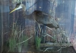 baby blue heron specimen