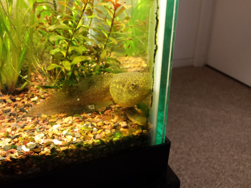 bullfrog tadpole SOFO