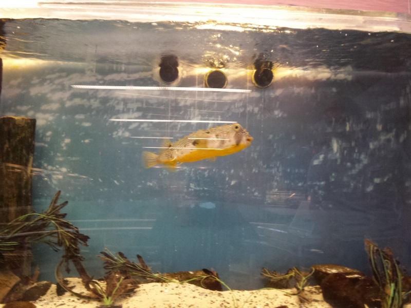 striped burrfish SOFO