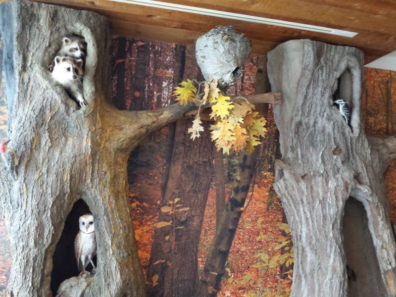 Raccoons, barn owl, and wasp nest